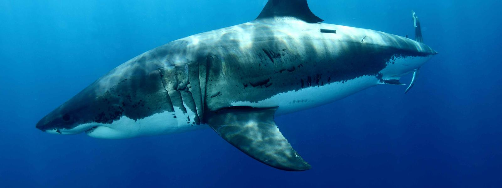 Pictures Of White Sharks 102